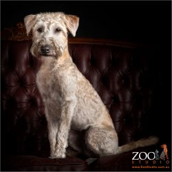 Beautiful Wheaton Terrier sitting on the couch.