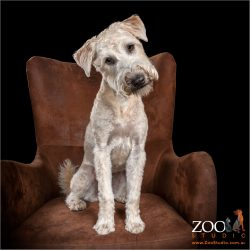 Adorable Wheaton Terrier sitting on a chair.