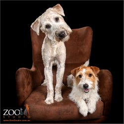 Sweet photo of a Wheaton Terrier and a Jack Russell settled on a chair.