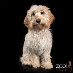 Adorable Miniature Labradoodle looking at camera.