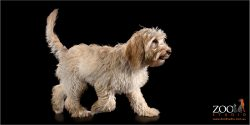 Lovable Miniature Labradoodle walking.