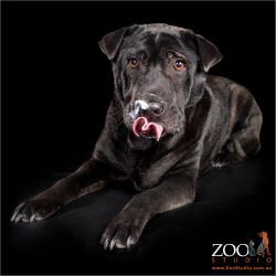 Gorgeous Shar Pei cross Labrador relaxing.