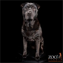 Adorable Shar Pei cross Labrador sitting pretty.