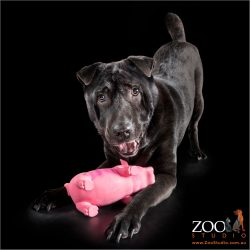 Sweet Shar Pei cross Labrador playing with her toy.