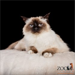 Beautiful Birman cat looking at camera.