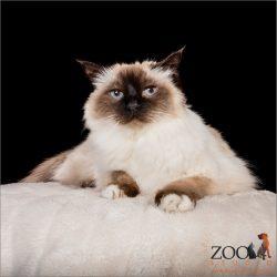 Beautiful Birman cat looking at camera.