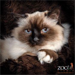 Adorable Birman cat close up.