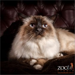 Sweet Birman cat laying on  a couch.