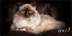 Lovable Birman cat laying on a couch.