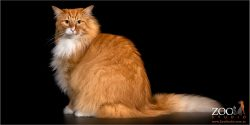 Beautiful Norwegian Forest Cat sitting upright.