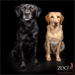 Black Labrador cross Kelpie with a Golden Labrador.