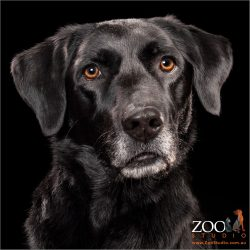 Gorgeous Black Labrador cross Kelpie staring at camera.