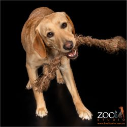 Beautiful Golden Labrador playing with a tug toy.
