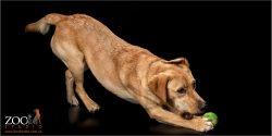 Adorable Golden Labrador playing with a ball.