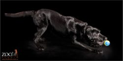 Lovely Black Labrador cross Kelpie playing with a ball.