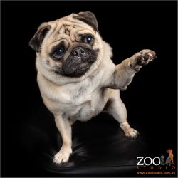 Gorgeous Pug putting his leg up.