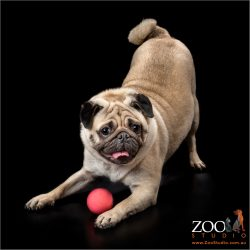 Beautiful Pug pouncing on a ball.