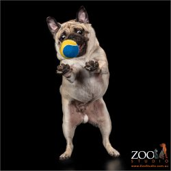Lovable Pug jumping for a ball.