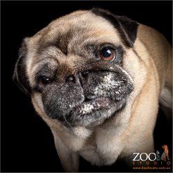 Beautiful Fawn Pug close up.
