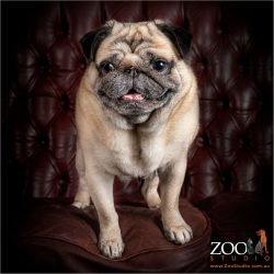 Gorgeous Fawn Pug sitting on a couch.