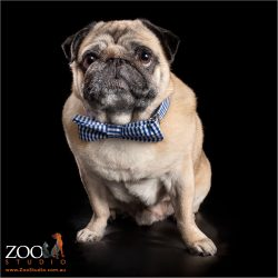 Adorab;e Fawn Pug wearing a blue bow tie.