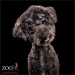 Gorgeous Toy Poodle staring at camera.