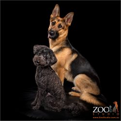 Side shot of German Shepherd and Toy Poodle.