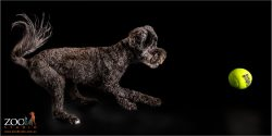 Cute Toy Poodle on the move.
