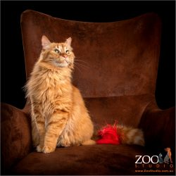 Beautiful Maine Coon sitting on a chair.