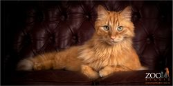 Gorgeous Main Coon relaxing on a chair