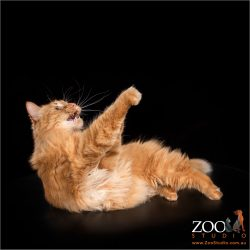 Adorable Maine Coon laying down and playing.