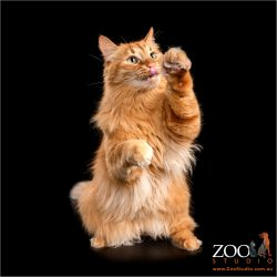 Lovable Maine Coon being playful.