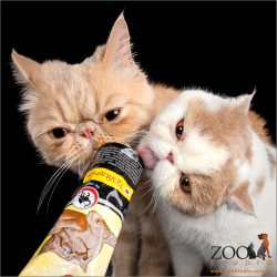 Two Exotic Shorthair cats having some vitamins.