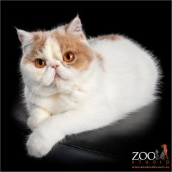 Gorgeous Exotic Shorthair cat relaxing.