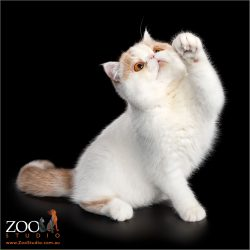 Adorable Exotic Shorthair cat pawing.