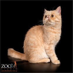 Beautiful Exotic Shorthair sitting pretty.