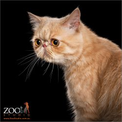 Sweet Exotic Shorthair cat staring.