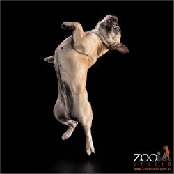 Gorgeous French Bulldog leaping into the air.