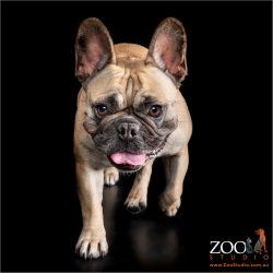 Adorable French Bulldog on the move.