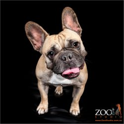 Sweet French Bulldog close up.