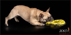 Lovable French Bulldog playing with her frisbee.