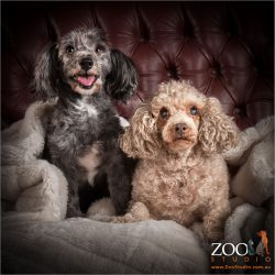 Two gorgeous Poodle crosses sitting pretty.