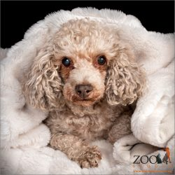 Beautiful Poodle cross Shih Tzu snuggled in a blanket.