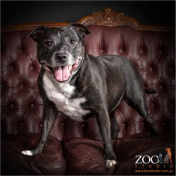 Gorgeous Staffordshire Bull Terrier standing on a couch.
