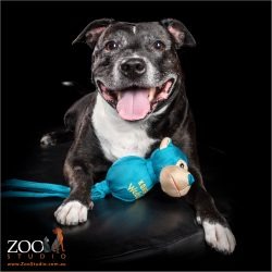 Adorable Staffy relaxing with her toy.