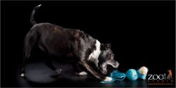 Lovable Staffordshire Bull Terrier playing with her toy.