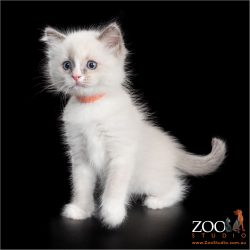 Cute white kitten standing sitting pretty.