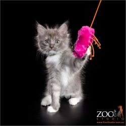 Gorgeous kitten playing with a pink cat toy.