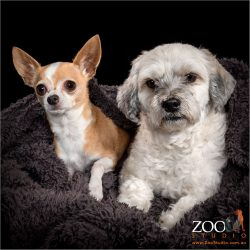 Gorgeous Maltese cross Shih Tzu and Chihuahua relaxing together.