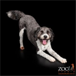 Gorgeous Border Collie cross Poodle in play bow position.